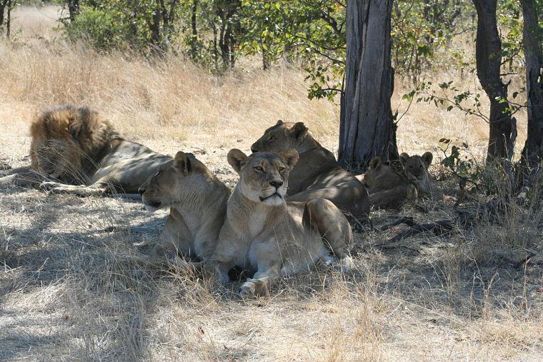 Leeuwen tijdens safari in Savute Chobe National Park Botswana
