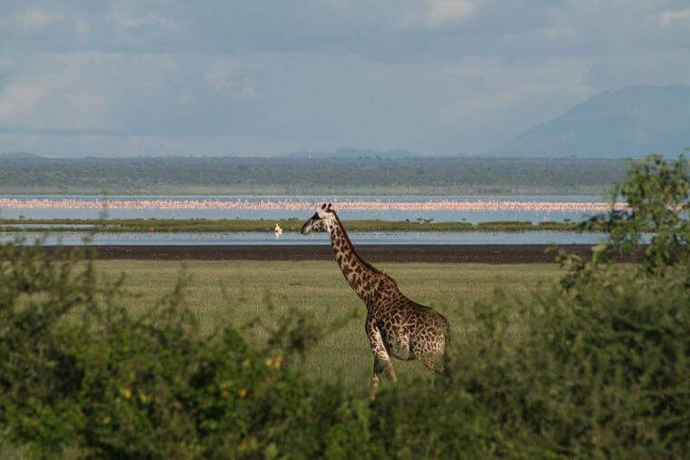 Giraffe in Lake Manyara National Park Tanzania