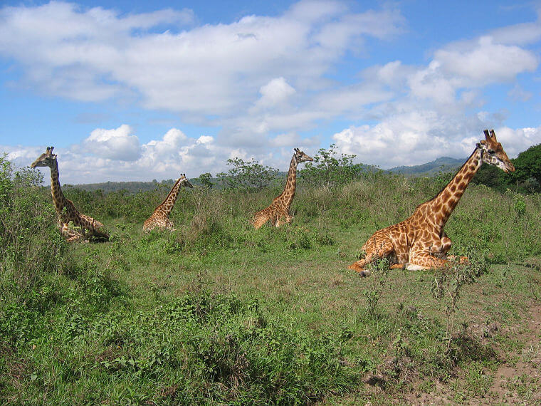 Giraffen in Arusha National Park Tanzania