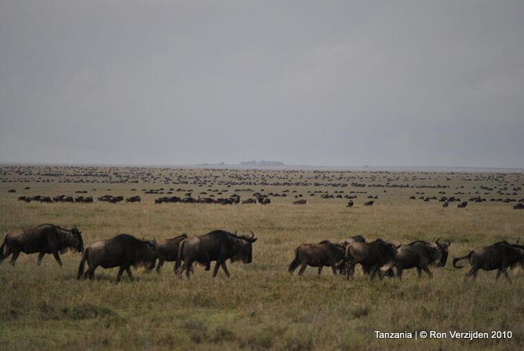 Grote migratie on the move Serengeti National Park Tanzania