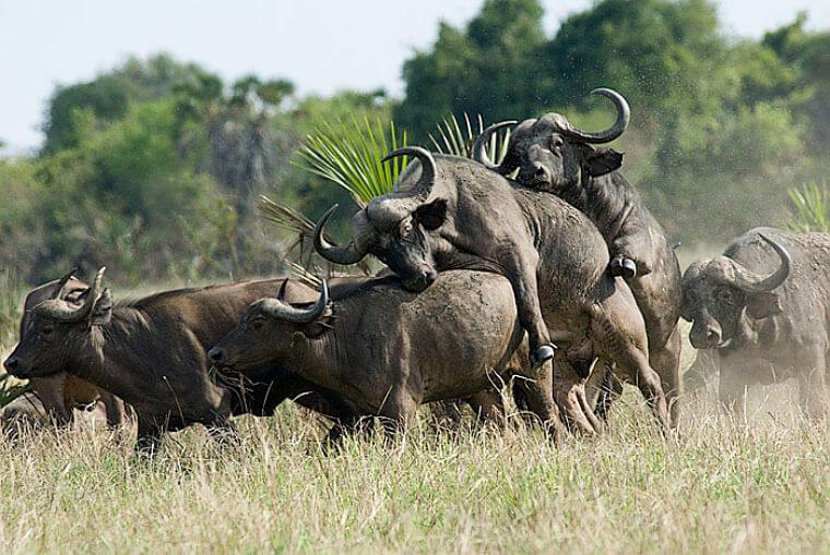Buffels in Saadani National Park Tanzania