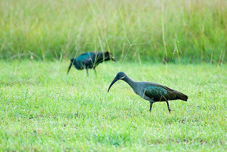 Glossy Ibis in Saadani National Park Tanzania