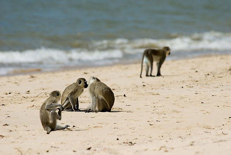 Vervet monkeys op strand Saadani Naitonal Park Tanzania
