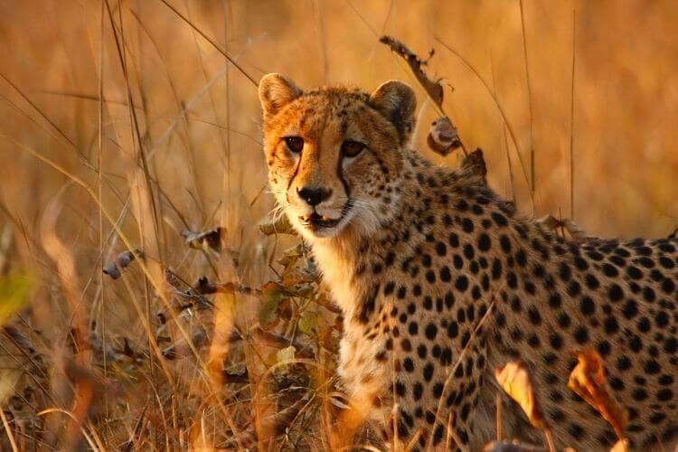 Cheetah in Kafue National Park Zambia
