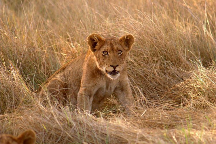 Leeuwenwelpje in Kafue National Park Zambia