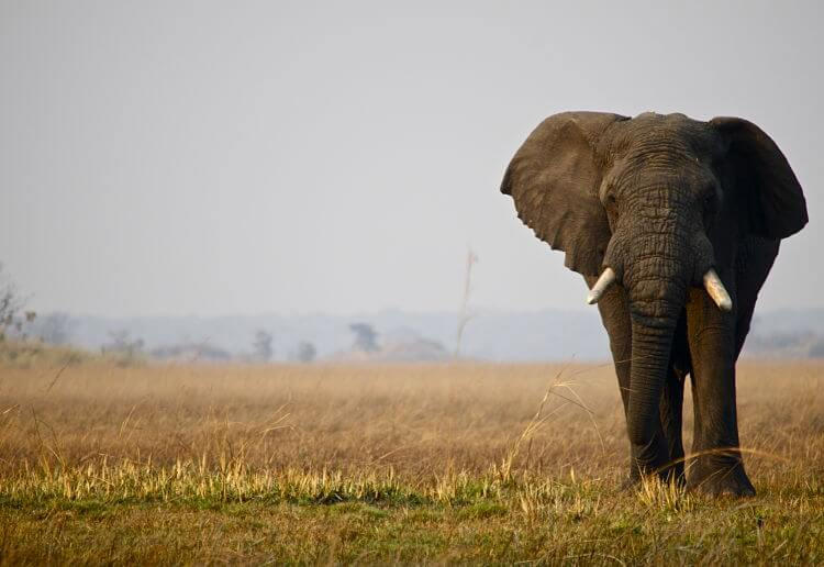 Olifant in Kafue National Park Zambia