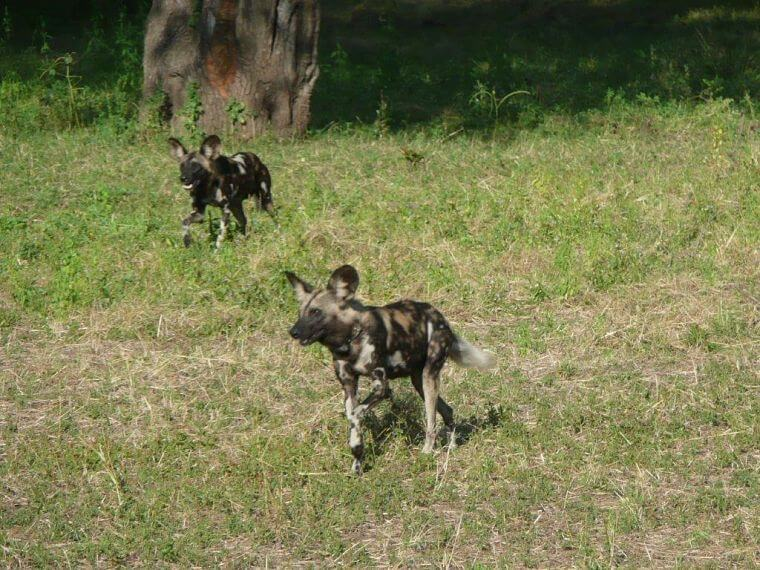 Afrikaanse wilde honden in South Luangwa National Park Zambia