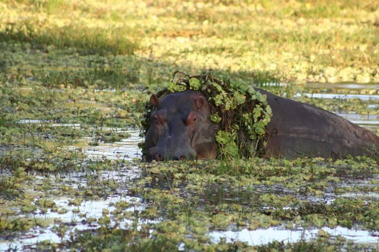 Nijlpaard in South Luangwa National Park Zambia