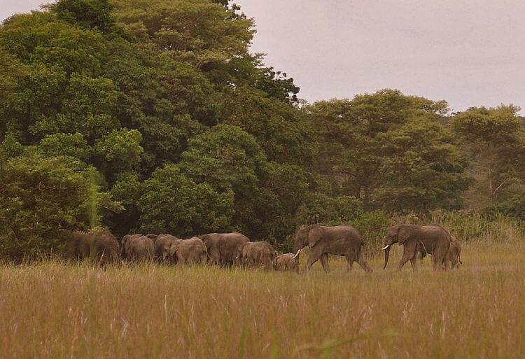 Olifanten in Kasanka National Park Zambia