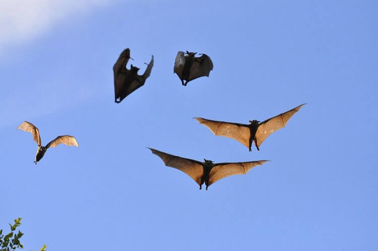 Vleermuizen in Kasanka National Park Zambia
