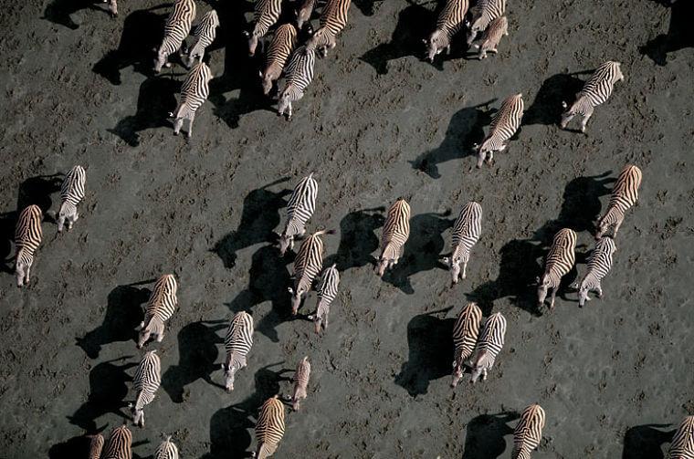 Zebra's op Makgadikgadi Salt Pans Botswana