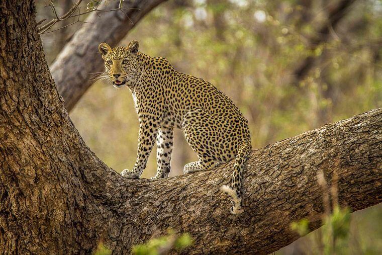 Luipaard in boom in Chobe National Park Botswana