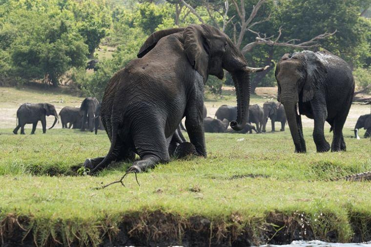 Olifanten op oever Chobe rivier Chobe National Park