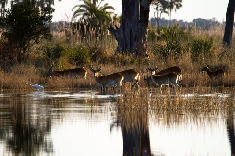 Red Lechwes in Okavango Delta Botswana