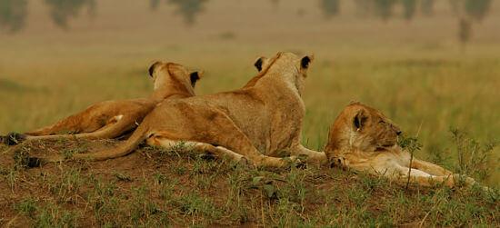 Leeuwen in Queen Elizabeth National Park