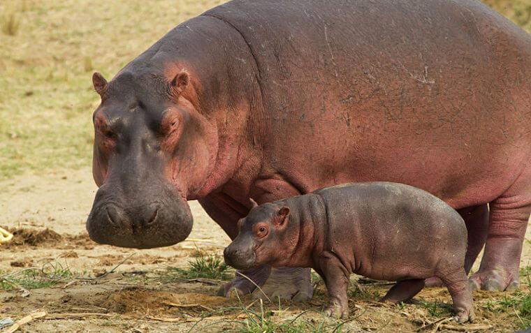 Nijlpaard met jong Kazinga Channel Queen Elizabeth National Park Uganda