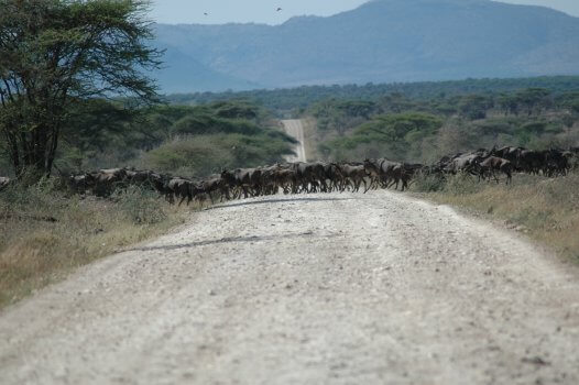 Overstekende gnoes in de Serengeti Tanzania