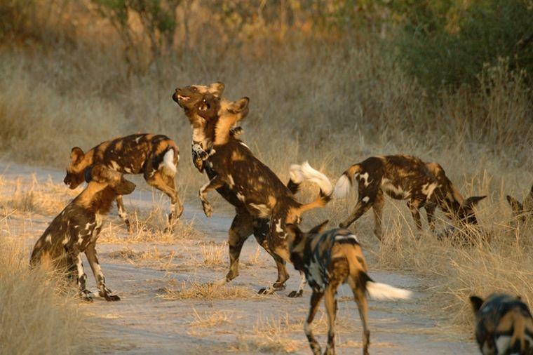 Afrikaanse wilde honden in Ruaha National Park Tanzania