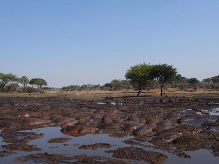 Katavi National Park, Duizenden nijlpaarden drommen samen, Tanzania