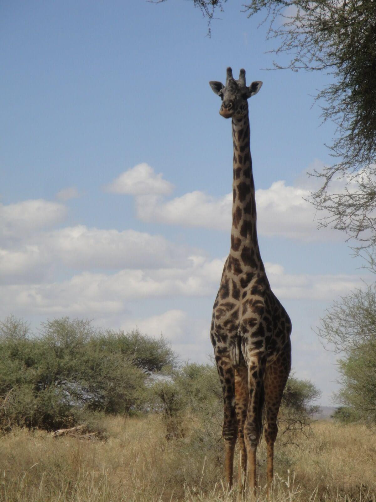 Giraffe in Ngorongoro Crater Tanzania