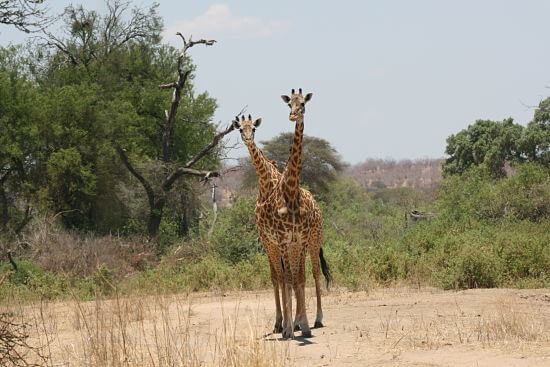 Giraffen in Ruaha National Park Tanzania
