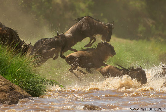 River crossing Wildebeest in Serengeti National Park