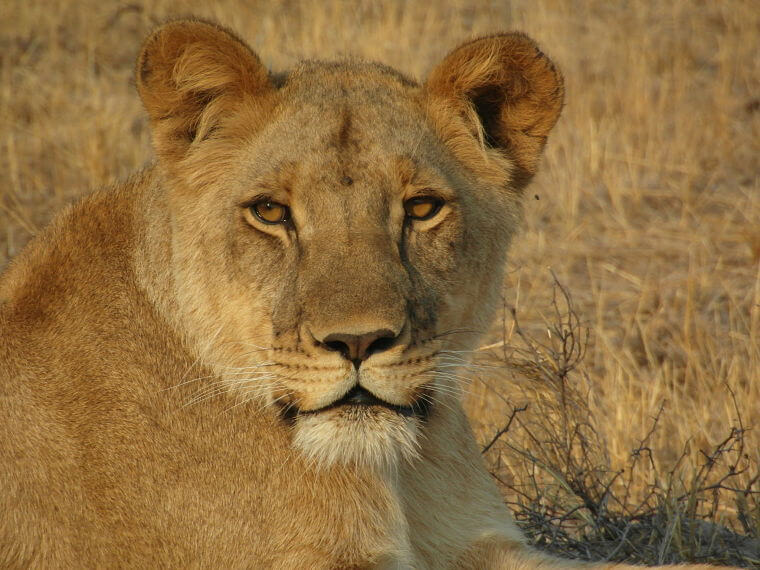 Leeuw in Hwange National Park Zimbabwe