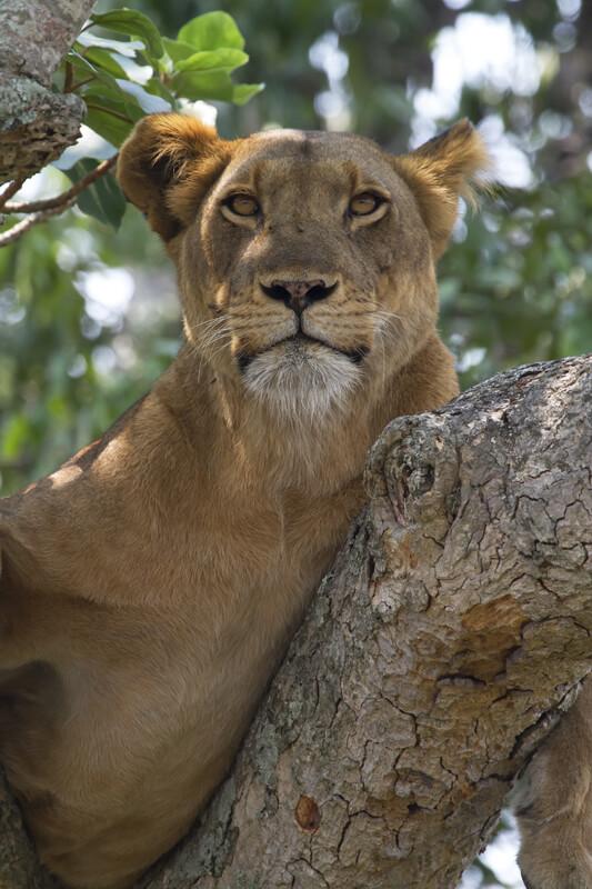 Boomklimmende leeuw Ishasha Uganda