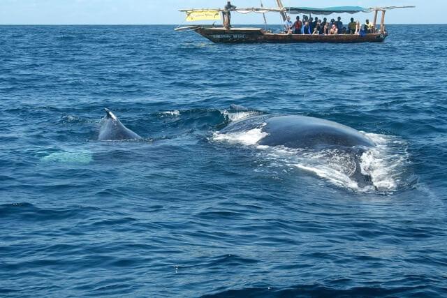 Bultrug walvis met jong bij Zanzibar