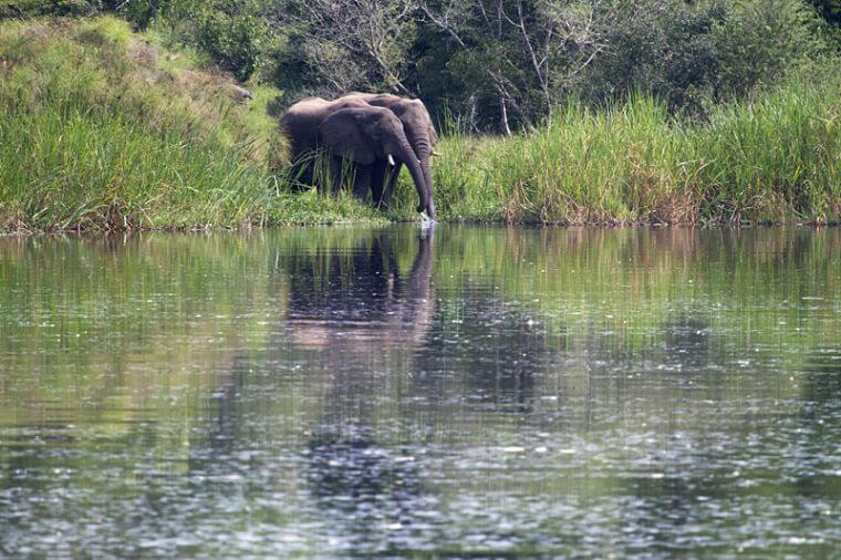 Drinkende olifanten in Murchison Falls National Park Uganda