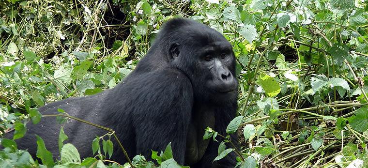 Relaxte berggorilla in Bwindi Impenetrable National Park Uganda