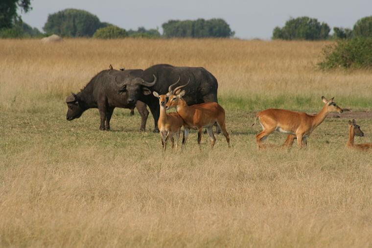 Uganda Kop in Queen Elizabeth National Park Uganda