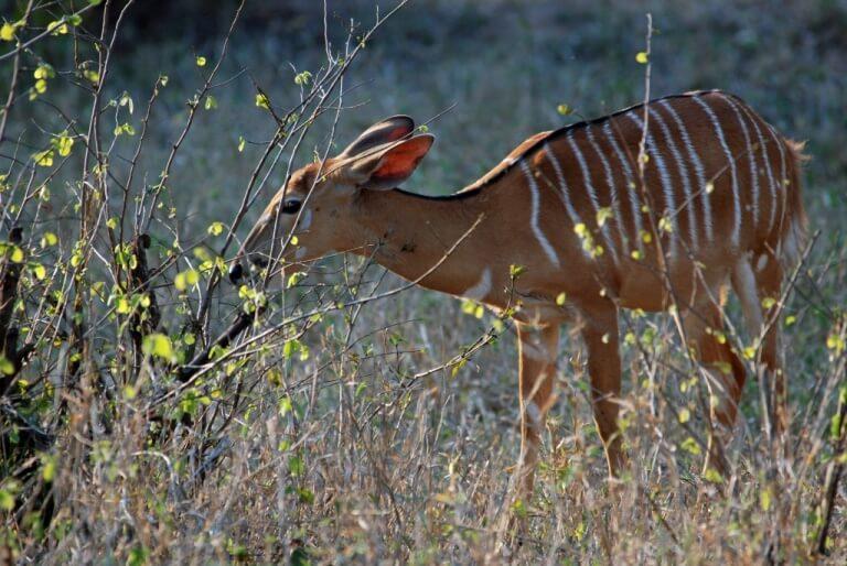 Nyala in Majete Wildlife Reserve Malawi