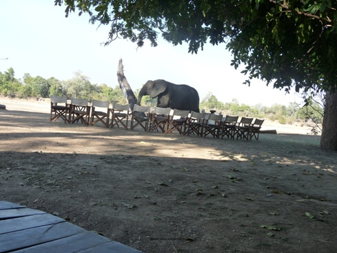 Olifant op bezoek bij lodge in South Luangwa National Park Zambia