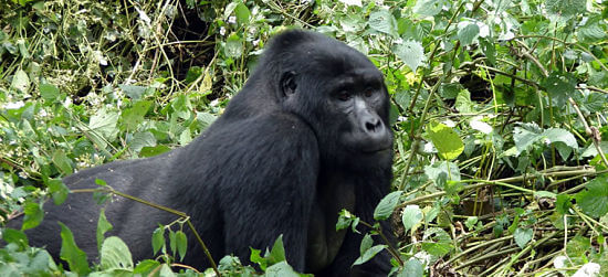 Berggorilla tijdens Gorilla Tracking in Bwindi Impenetrable National Park Uganda