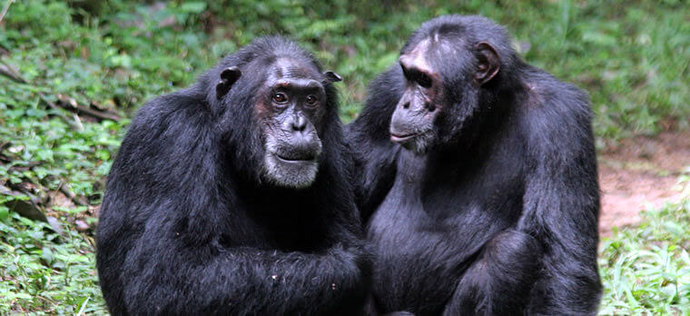 Chimpansees in Kibale Forest Uganda