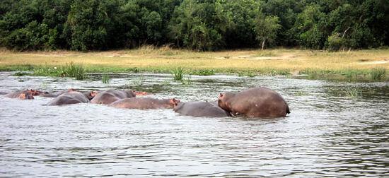 Nijlpaarden in Kazinga Channel Queen Elizabeth National Park Uganda