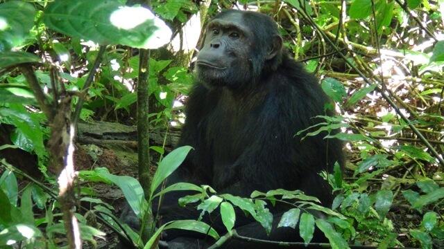 Chimpansee Kibale Forest Reserve Uganda