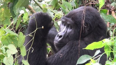 Gorilla Bwindi Impenetrable National Park Uganda