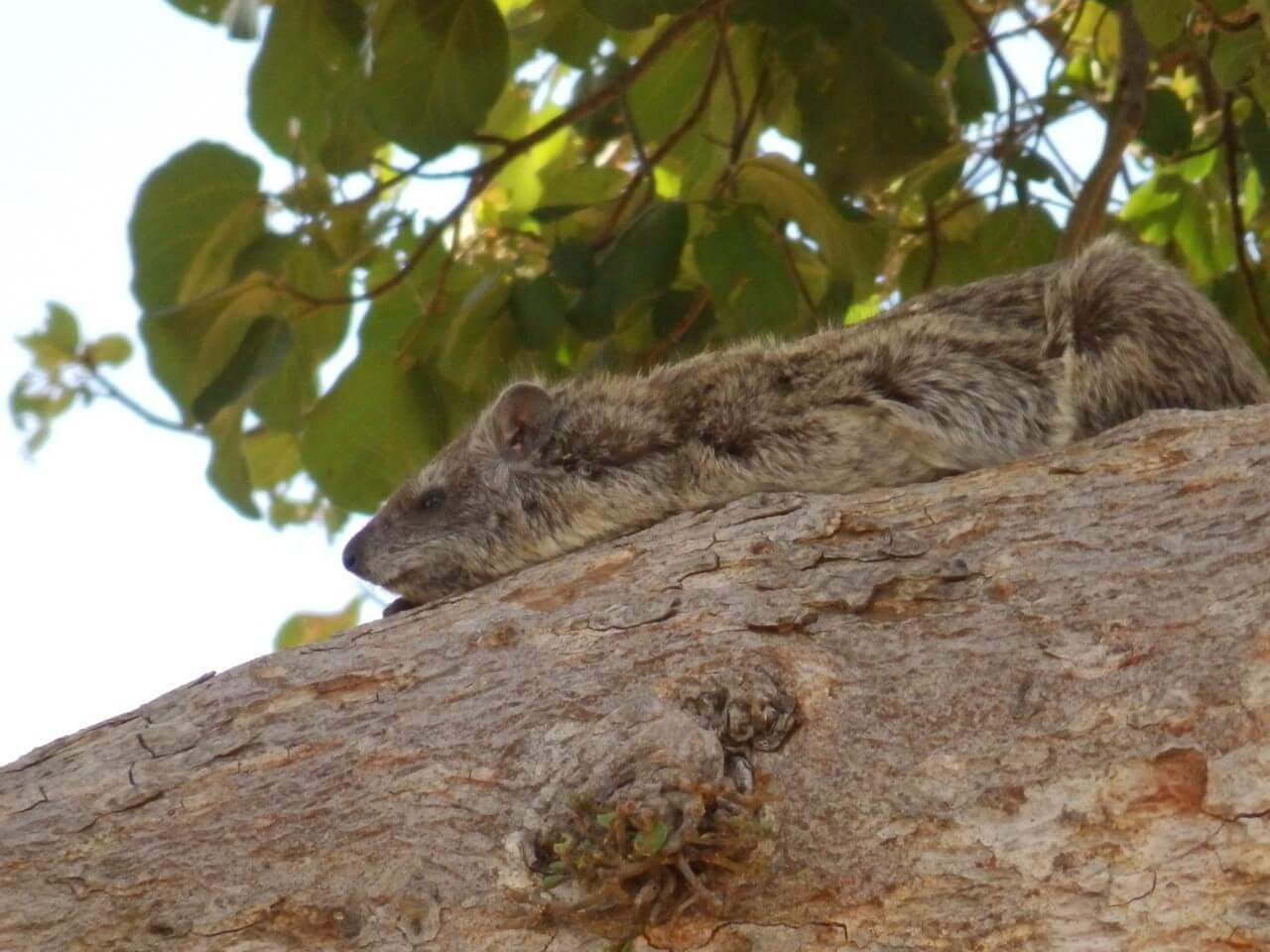 Rockdassie Tarangire National Park Tanzania