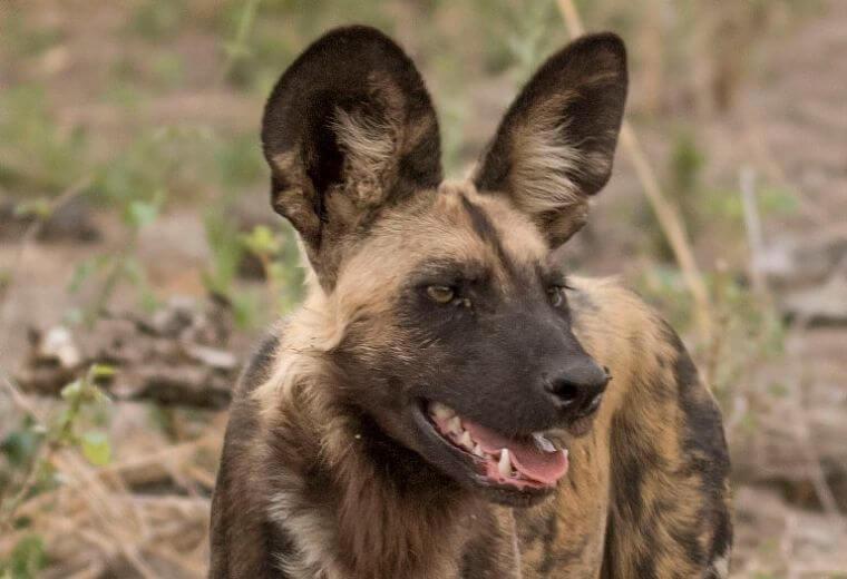 Afrikaanse wilde hond Khwai Community Area Botswana