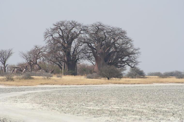 Baines Baobab Nxai Pan National Park Botswana