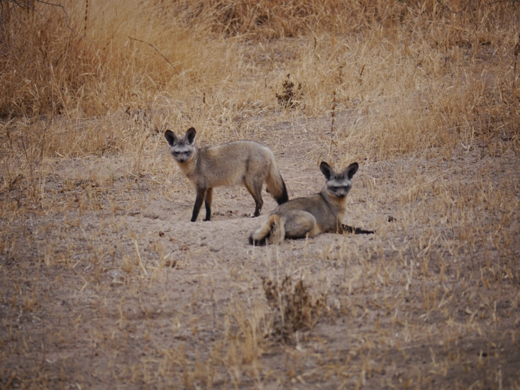 Bat Eared Foxes in Serengeti National Park Tanzania