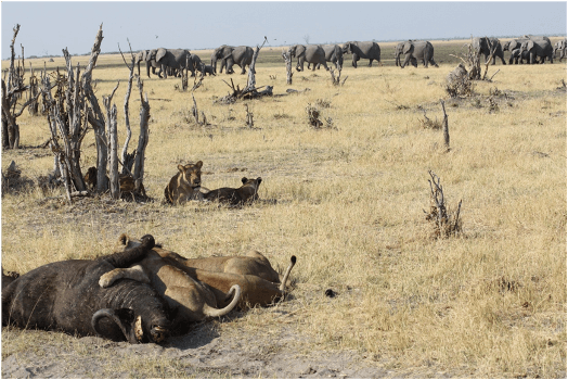 Buffel kill in Chobe National Park Botswana