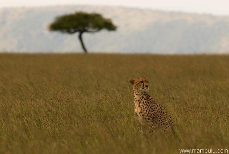 Cheetah kijkt uit over Serengeti National Park Tanzania