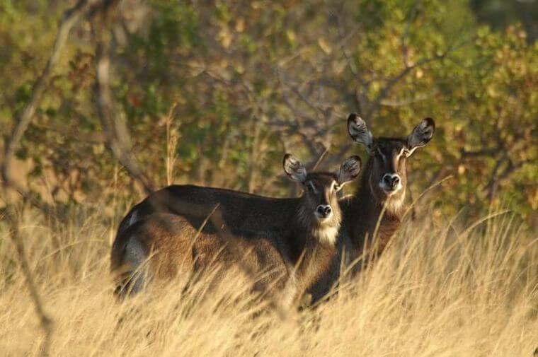 Defassa waterbuck Kafue National Park Zambia