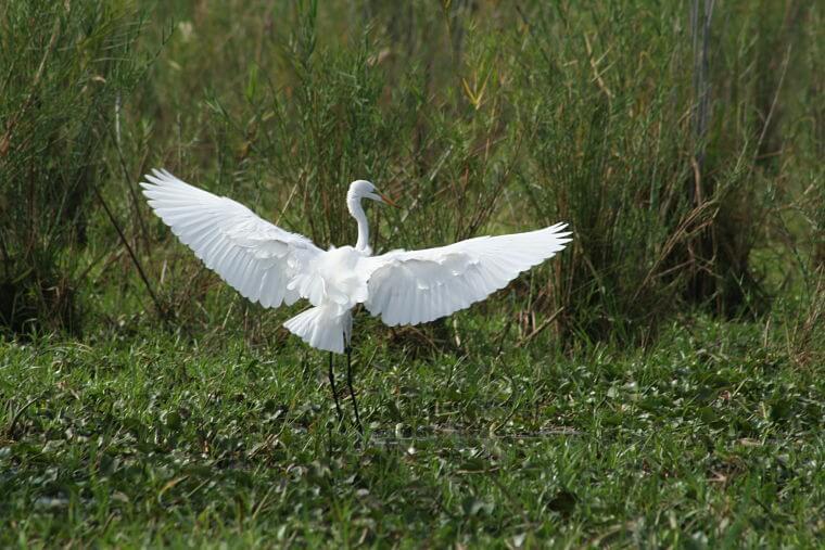 Great Egret bij Shire River Liwonde National Park Malawi