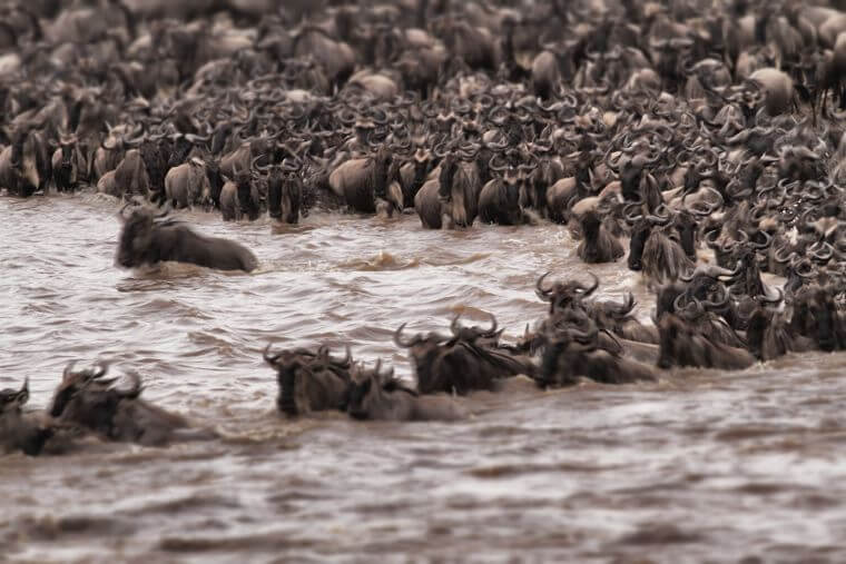 Great Migration Mara river crossing Serengeti National Park Tanzania