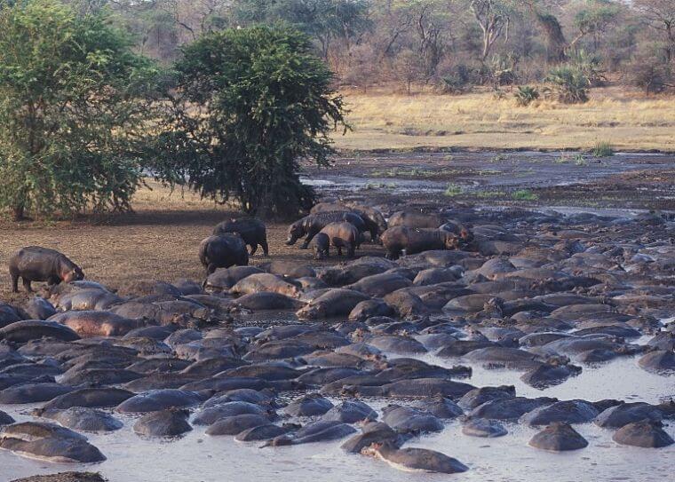 Grote aantallen nijlpaarden in Katavi National Park Tanzania