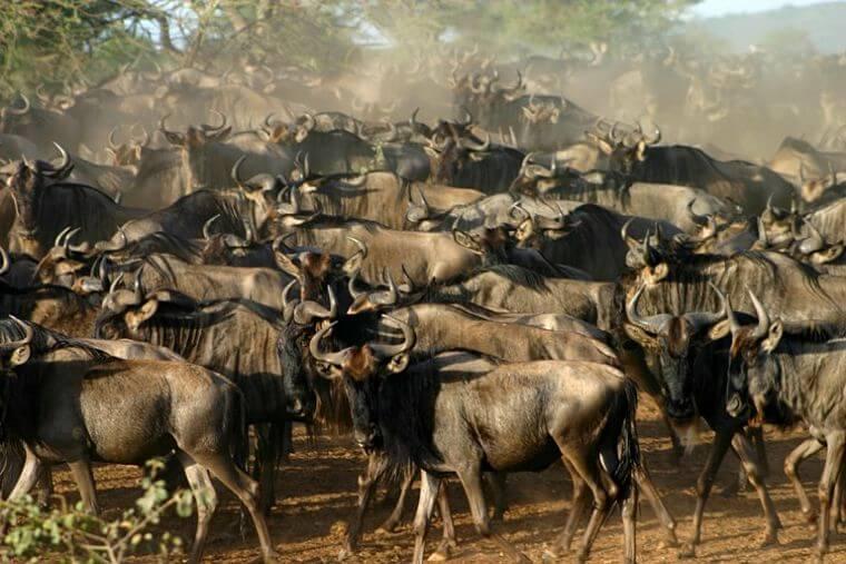 Grote migratie in Serengeti Tanzania